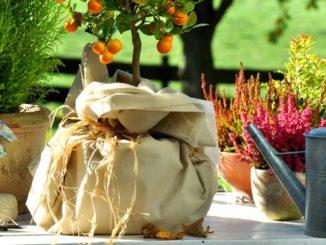 Kübelpflanzen überwintern mit Vlies