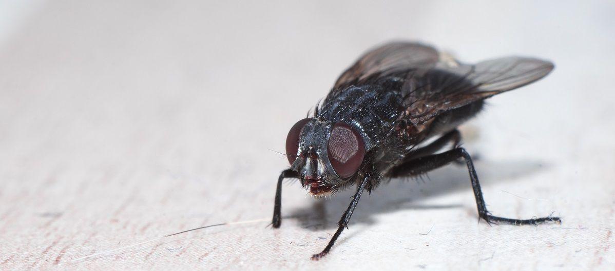 Was hilft gegen Fliegen in der Wohnung? Bekämpfen, Fliegenfalle