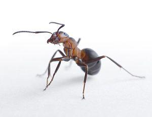 ameisen bek mpfen was hilft gegen ameisen in der wohnung. Black Bedroom Furniture Sets. Home Design Ideas