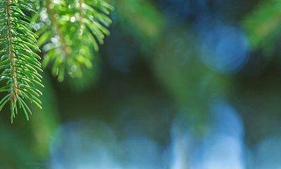Beim Waldspaziergang kann man sich schnell Harzflecken holen